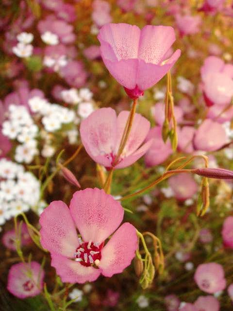 Clarkia Wildflowers (Farewell to Spring)