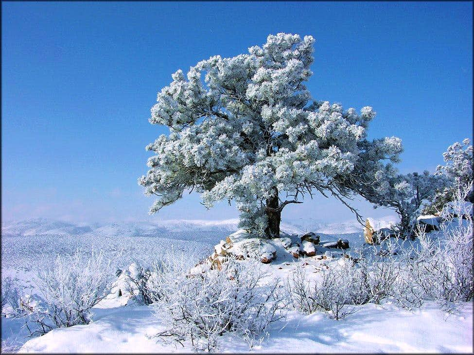 Snowy Ponderosa