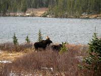 Bull moose & Lake