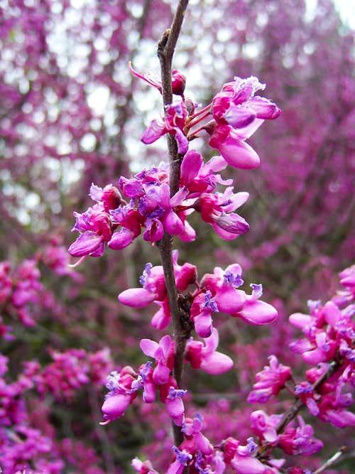 Redbud flowering