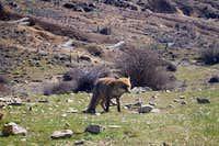 Fox in the raise to Torrecilla Peak (Málaga)