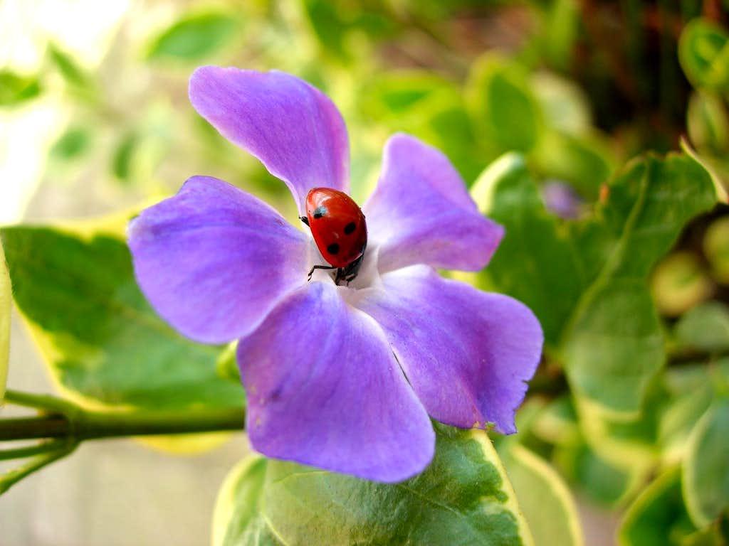 <b><i>Coccinella septempunctata</i> on <i>Vinca major