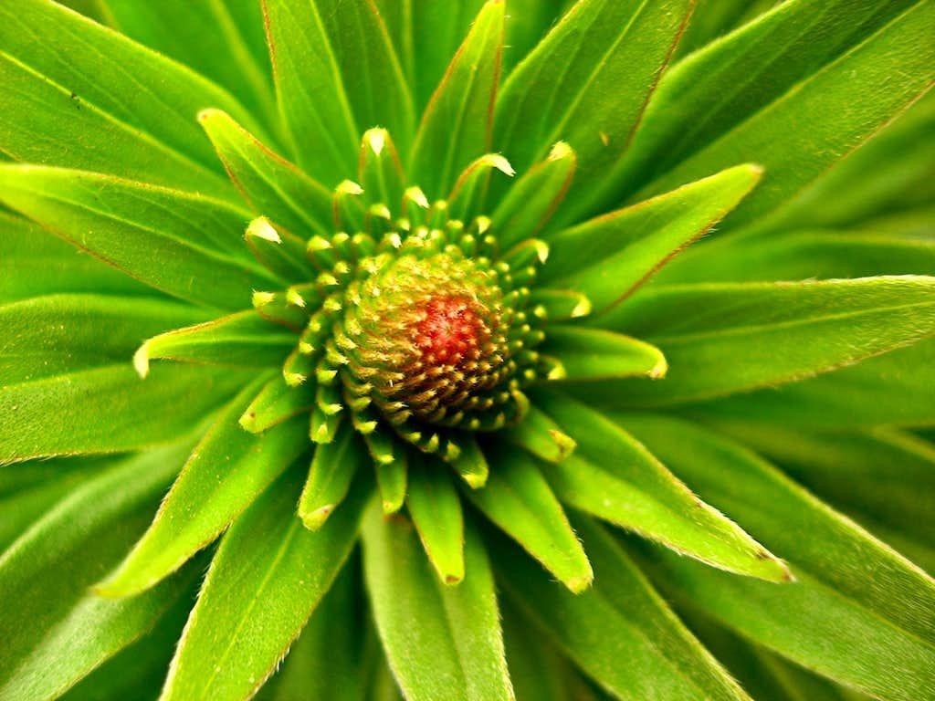 <b><i>Echium webbi</b></i>