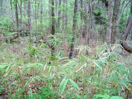 Bamboo on the perimeter trail around Dowdell\'s Knob
