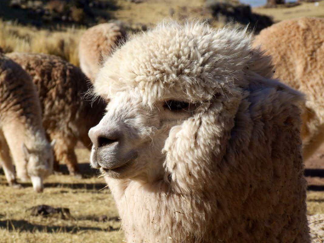 Alpaca Portrait Like Small Llama Stock Photo - Image: 52552234
