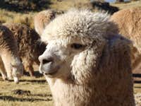 Llama (Or Alpaca) for those colder nights