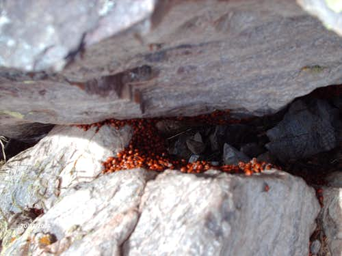 A Bunch Of Ladybugs Kicking It On The Summit Of Browns