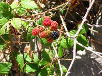 Blackberries on the way down from Nosorog