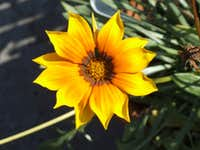 South Wales yellow Gazania