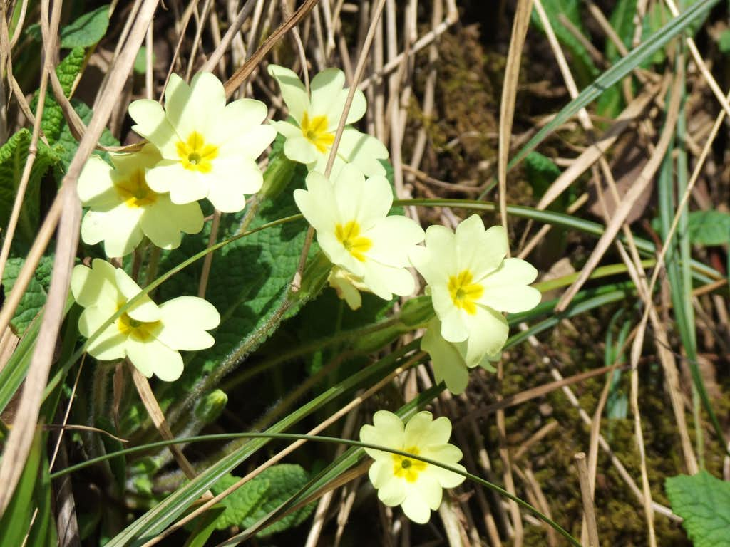 Primrose growing on the bank of Afon Hepste
