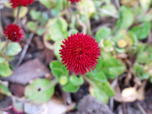 Local red flower