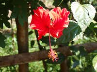 Exotic red HIBISCUS