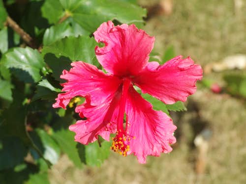 Frilly pink HIBISCUS