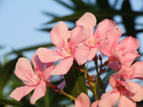 5 Leaf pinks