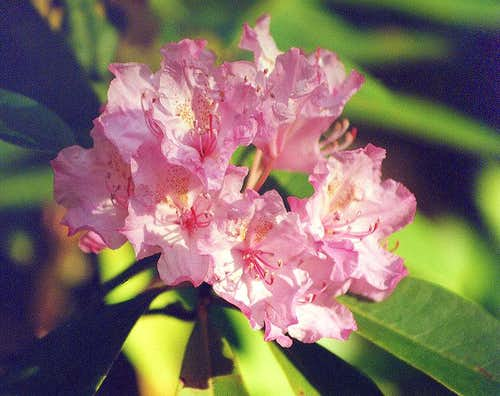 Pacific Rhododendron, Welcome Lakes Trail