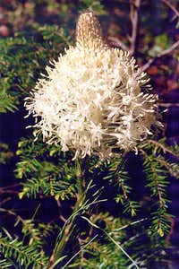 Bear Grass, Welcome Lakes Trail