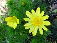 Yellow pulsatilla