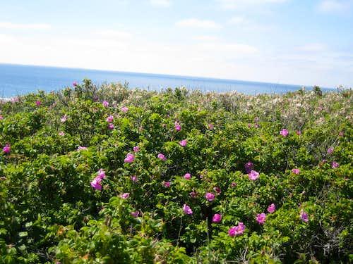 Wild roses near the sea