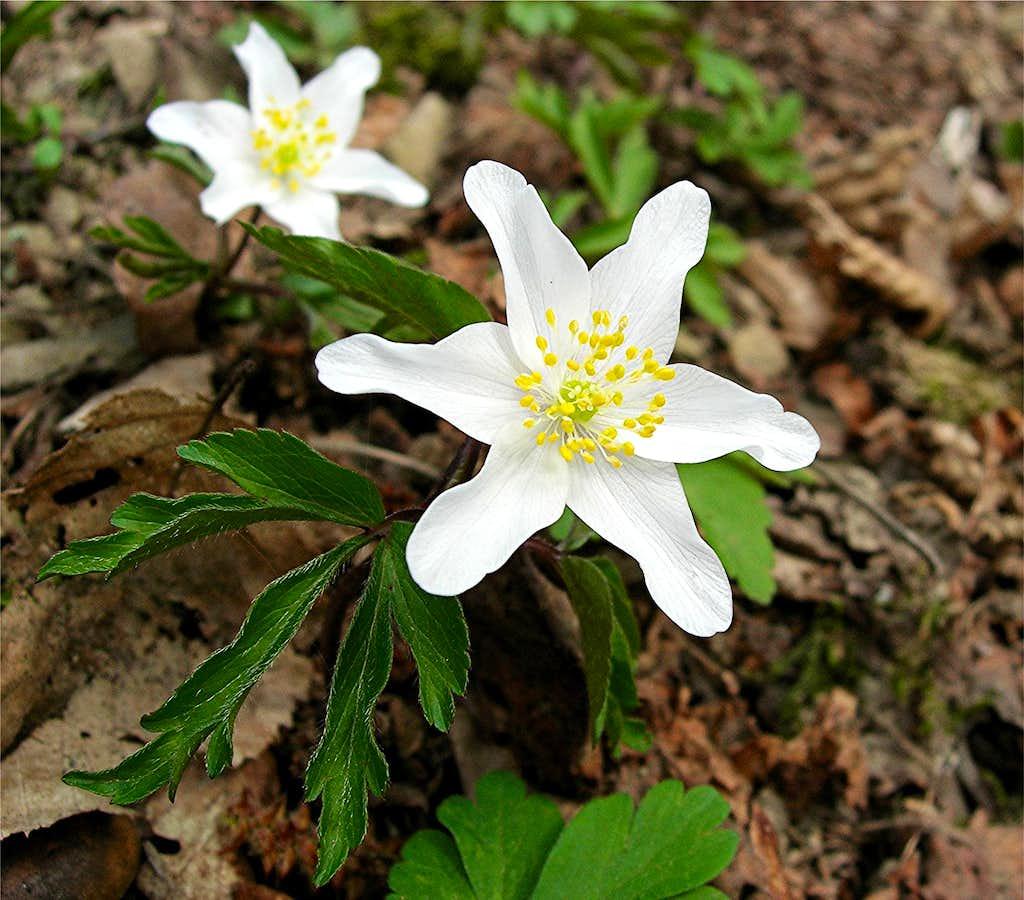 Wood Anemone <b><i>Anemone nemorosa</b></i>