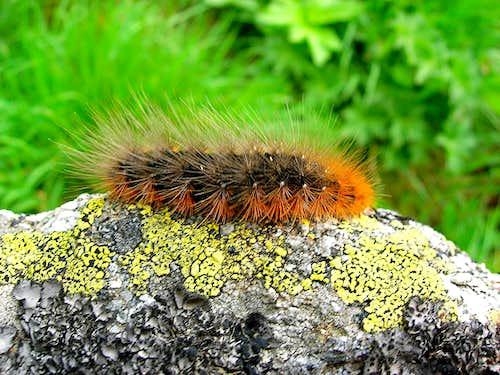 White Ermine Caterpillar,<b> <i>Spilosoma lubricipeda</i>