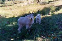 Mountain goats raiding our...