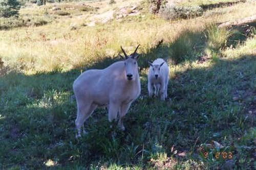 Mountain goats raiding our...