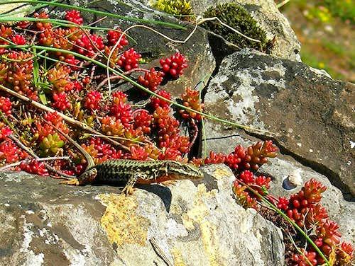 Wall Lizard and Wallpepper <b><i>Sedum acre