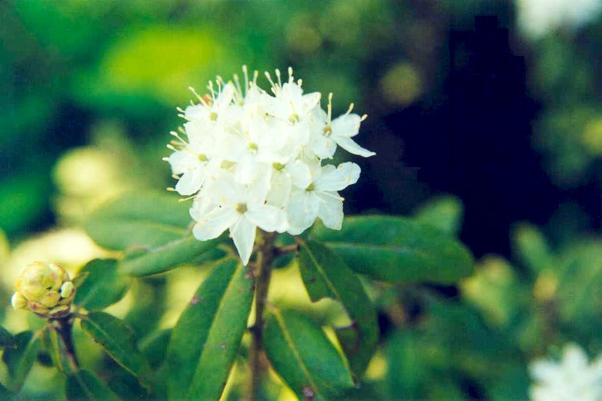 Mountain Labrador-tea (Ledum glandulosum) : Photos, Diagrams & Topos ...