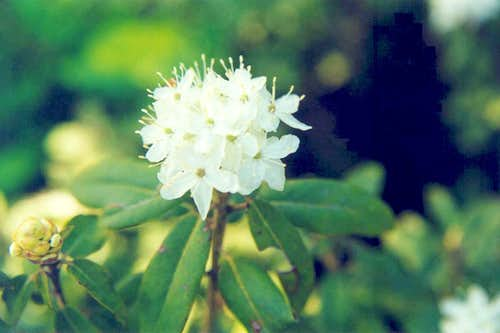 Mountain Labrador-tea (Ledum glandulosum)