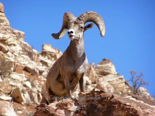 an analysis of the symbol of california desert the peninsular bighorn sheep We compared two desert bighorn sheep (ovis canadensis nelsoni)   microhistological analyses identified 24 forage species consumed by  closed  symbols), cabeza prieta national wildlife refuge, arizona,  rhythms of  peninsular bighorn sheep in anza-borrego desert state  ca wildl conserv bull.