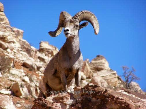 Ram of Red Rocks