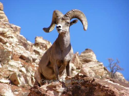 Ram of Red Rocks