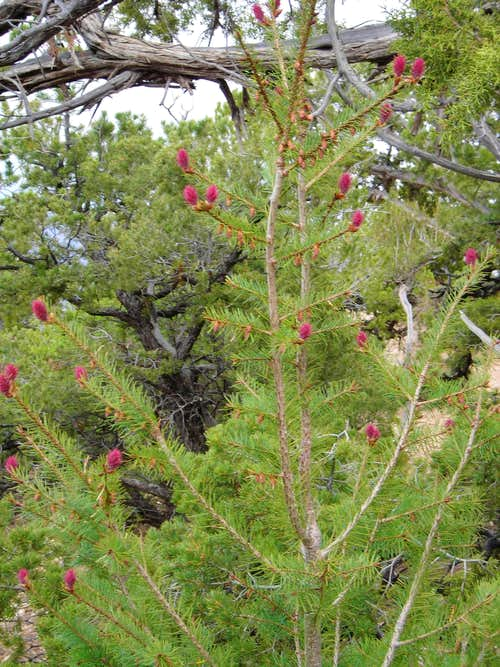Blooming Pine(or Fir?)