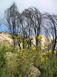 Yellow flowers and charred trees