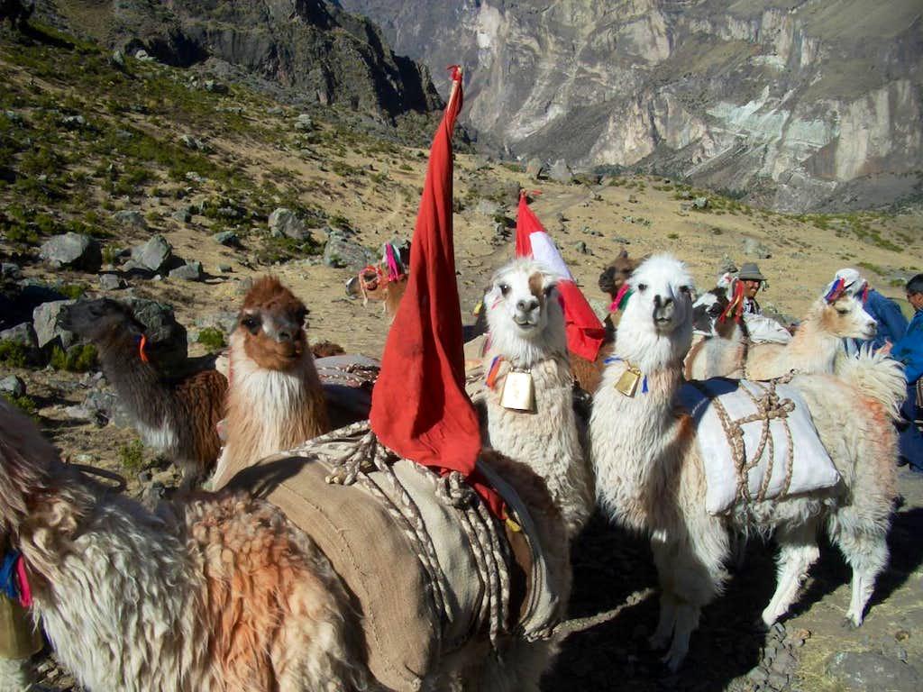 Pack Llamas