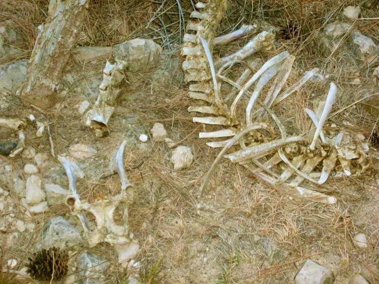 Bighorn Sheep Skeleton