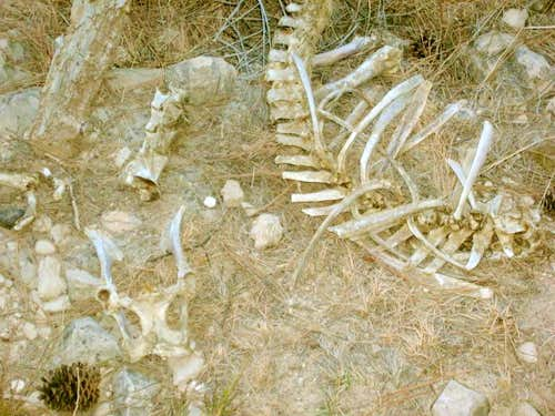 Bighorn Sheep Skeleton