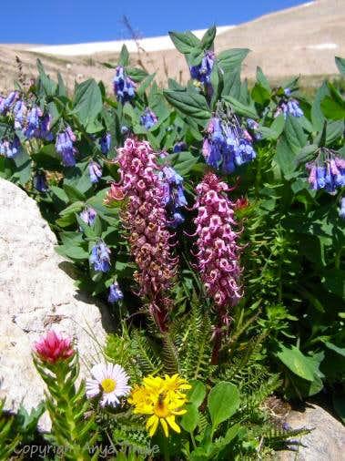 Wildflowers below Mount Sherman