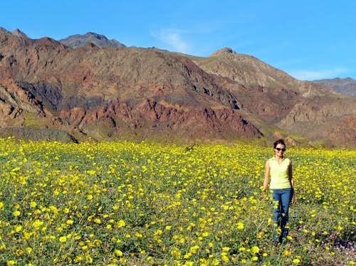 In Death Valley among Desert Gold
