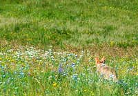 Coyote and Wildflowers