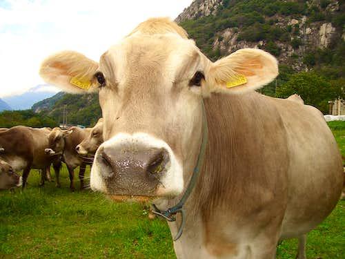 A curious Cow!