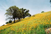 Oaks and California Poppies