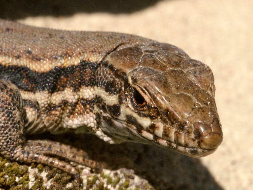 Female Wall Lizard