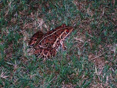Indian amphibian