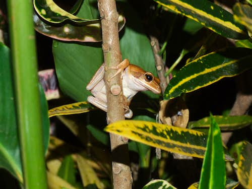 Indian tree frog