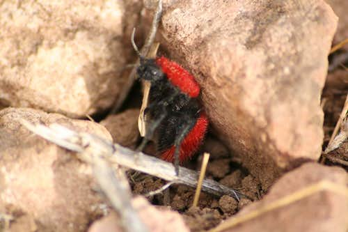 Velvet Ant weightlifting