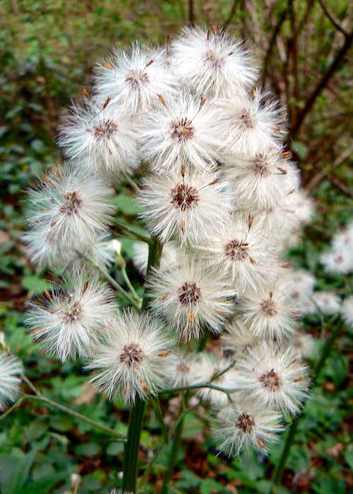 Farfaraccio seeds