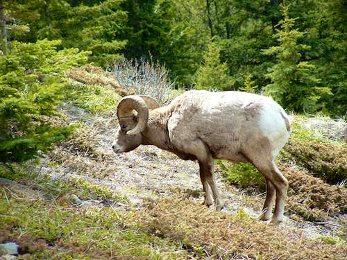 Bighorn Sheep near Aylmer Pass