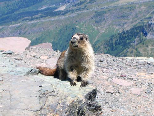 Marmot on Oberlin