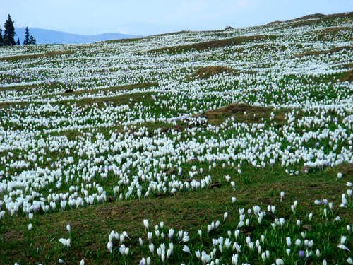 Crocus fields